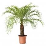 Отглеждане на финикова палма