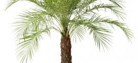 Как да отгледаме финикова палма в домашни условия